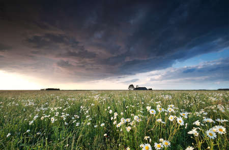 chamomile flower: dark stormy cloud over chamomile field in summer