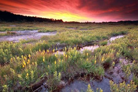 purple dramatic sunrise over  moorland with bog asphodel flowers