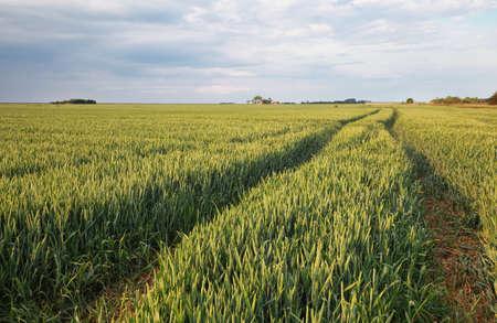 wheat field in summer on dutch farmland