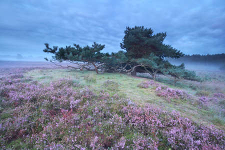 Pine tree surrounded with pink heather flowers stock photo picture pine tree surrounded with pink heather flowers stock photo 84655903 mightylinksfo
