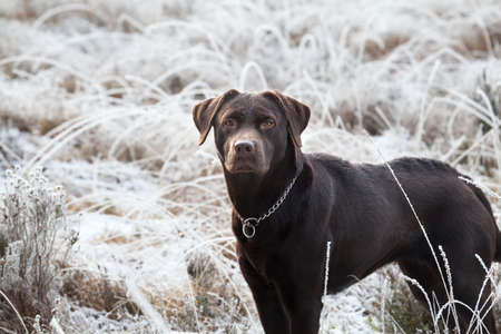 cute brown labrador dog on frosted meadow in winter Stock Photo