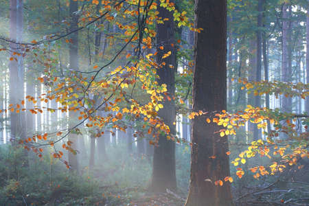 sunbeams in colorful misty autumn forest