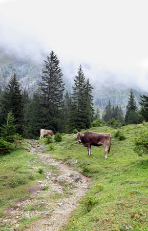 cow in Alps on green foggy meadow