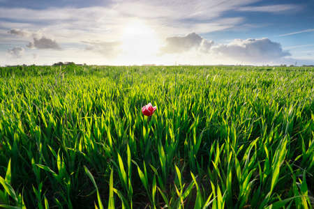 one red tulip in green grass and sunshine outdoors
