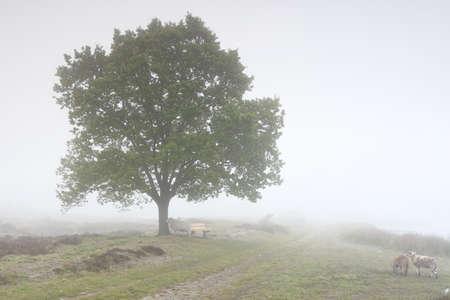 sheep walking in dense fog by big oak tree