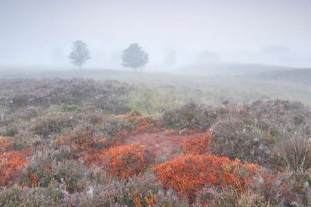 brown burnt moss and heather on foggy morning