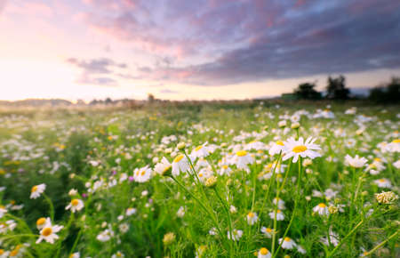 meadow with white chamomile at sunrise Banco de Imagens