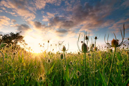 field with many teasel flowers at summer sunrise