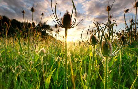 dipcasus plant at summer sunrise
