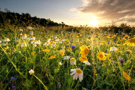 gold sunrise over meadow with chamomile flowers in summer