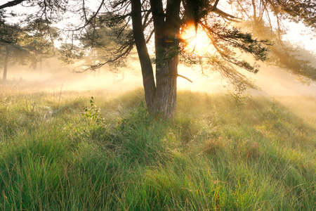 gold sunshine at foggy dawn in summer woodland Banco de Imagens