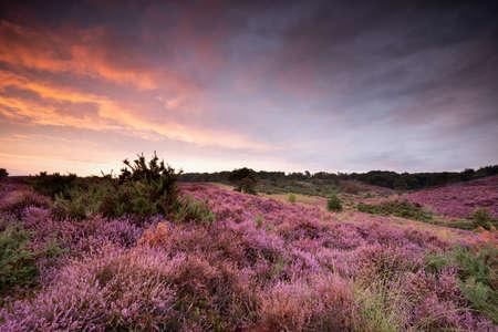 dramatic purple summer sunset over blossoming heather hills Banco de Imagens