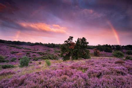 big rainbow over purple heather flower hills at sunset, Netherlands