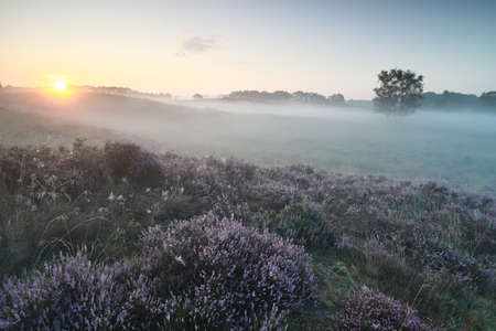 misty sunrise over pink heather flowers on hills in summer