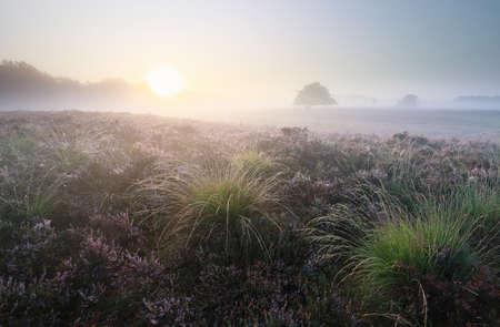 beautiful misty sunrise over blossoming heather, Drenthe, Netherlands Banco de Imagens