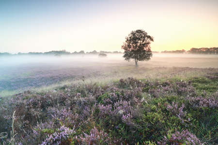 beautiful misty sunrise  over blooming heather flowers
