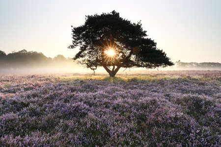 morning sunshine through pine tree in mist Banco de Imagens