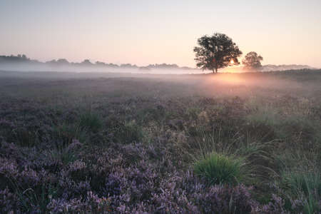 beautiful misty sunrise over blossoming heather in summer Banco de Imagens