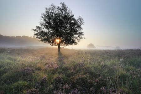 sunrise behind tree and flowering pink heather in fog