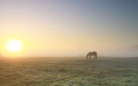 horse grazing on pasture in dense fog at sunrise