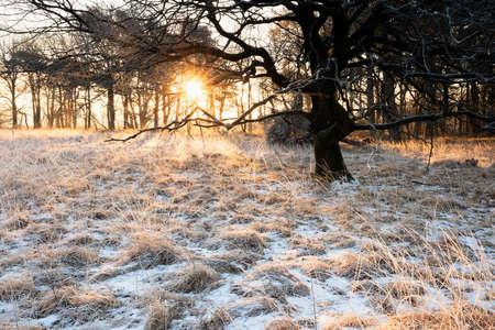 golden sunlight behind oak tree in winter Banco de Imagens