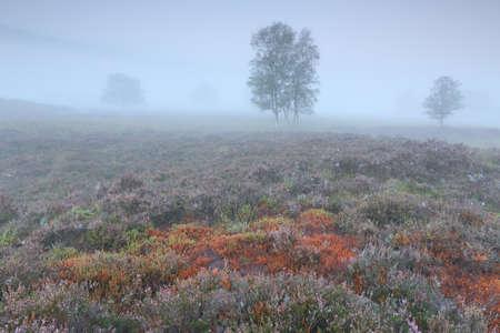 birch trees and orange burnt moss in dense fog in autumn