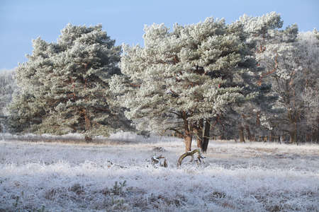 pine trees in strong frost during winter morning Banco de Imagens
