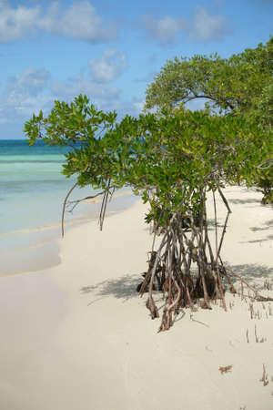 Mangrove tree and beach