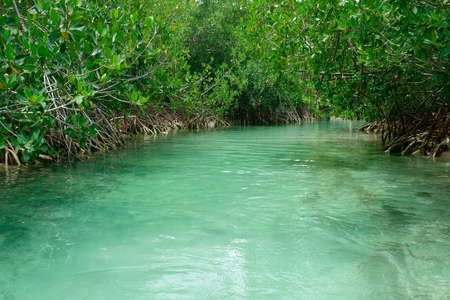 Turquoise stream or lagoon and mangrove trees