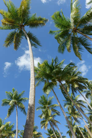 Palm trees from below on a blue sky