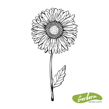 Vector hand drawn monochrome illustration of Gerber Daisy flowers in vintage style. Black and white flowers isolated on white background. Botanical sketch with black pen and ink.