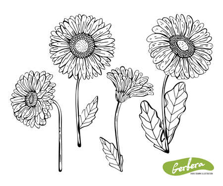 Vector set of hand drawn monochrome illustration of Gerber Daisy flowers in vintage style. Black and white flowers isolated on white background. Botanical sketch with black pen and ink. Ilustração
