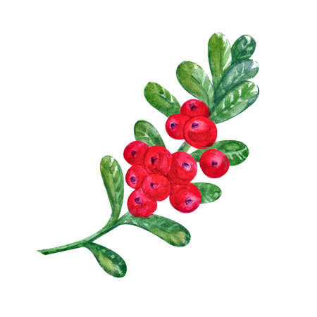 Cranberries with watercolor leaves on a white background. Juicy and fresh cranberry berries realistic forest hand drawn illustration. Natural product. Forest berry,
