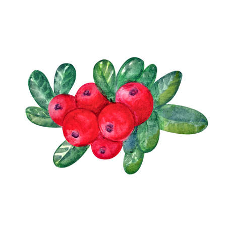 Cranberries with watercolor leaves on a white background. Juicy and fresh cranberry berries realistic forest hand drawn illustration. Natural product. Forest berry, branch of berries