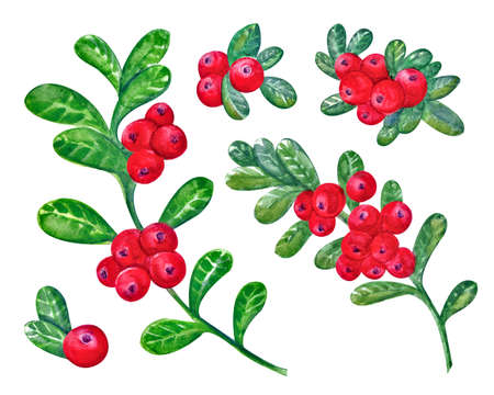 A set of Cranberries with watercolor leaves on a white background. Juicy and fresh cranberry berries realistic forest hand drawn illustration. Natural product. Forest berry, branch of berries Imagens