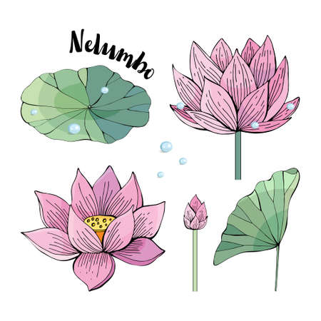 Set of delicate pink Lotus flowers and leaves. Water Lily, Nelumbo. Vintage style. hand drawn Botanical illustration. Objects isolated on white background. Different elements for floral design Banque d'images - 129764323