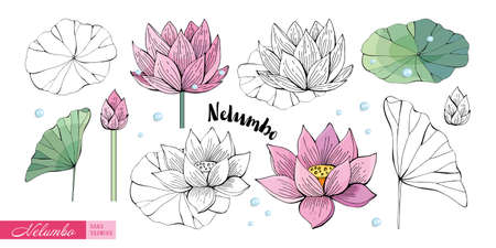 Lotus flowers, leaves, stems, buds hand drawn in color and in black and white line. Nelumbo. Set of Botanical illustration in vector. Romantic Floral elements. Isolated objects on white background.
