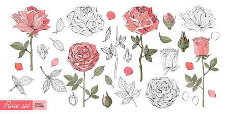 Rose flowers, leaves, stems, buds hand drawn in color and in black and white line. Set of Botanical illustration in vector. Romantic Floral elements. Isolated objects on white background. Vintage.