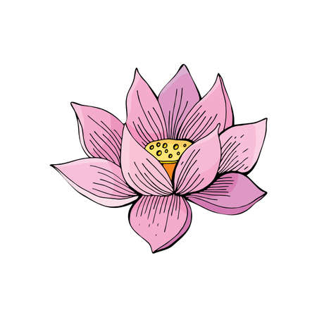 Pink Lotus flower on white background in vector. Hand drawn illustration. Nelumbo. Botanical illustration in vintage style.
