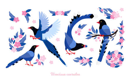 Taiwan azure magpie. Set exotic birds and pink tropical flowers of Taiwan and of Asia. Urocissa caerulea. Cute Blue cartoon bird a in different poses and movements. Hand drawn vector flat illustration