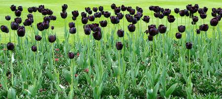 黒いチューリップの花壇