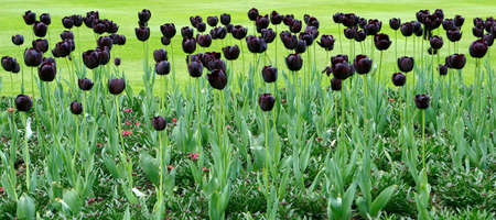 Flower bed with black tulips
