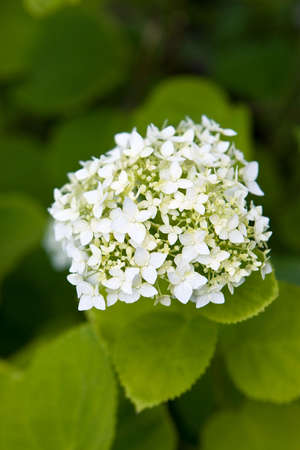 White hydrangea flovers Stock Photo