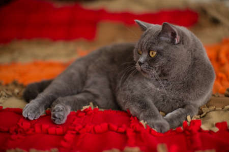 Beautiful gray British shorthair cat boy lies on the bed