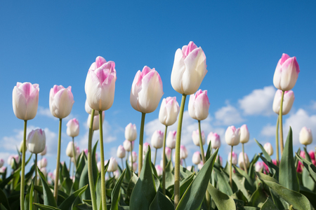 White with pink tulips are standing in a field with a blue sky in de background.