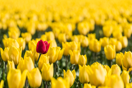 distinctly: A red tulip is standing in a field with yellow tulips in full bloom. The red tulip is a little higher than the yellow flowers-which makes the red tulip standout against a yellow background. Stock Photo