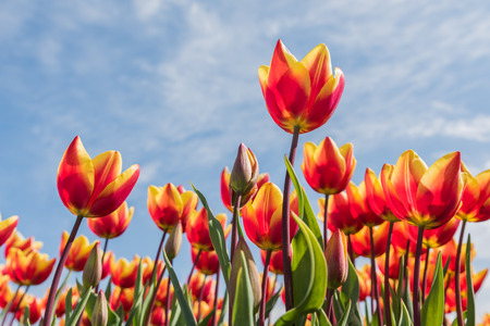 Red with yellow tulips are standing in a sunny field with a blue sky in de background.