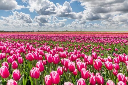 Tulip fields in Holland on a sunny day in spring. The fields are in full bloom and the sky above is blue with typical white clouds.
