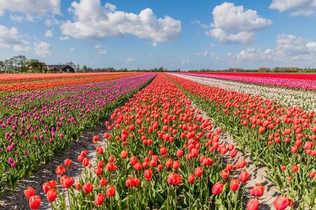 Flowering tulip fields in Holland with a blue sky and typical white clouds above.