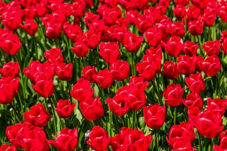 Red tulips growing in a field.